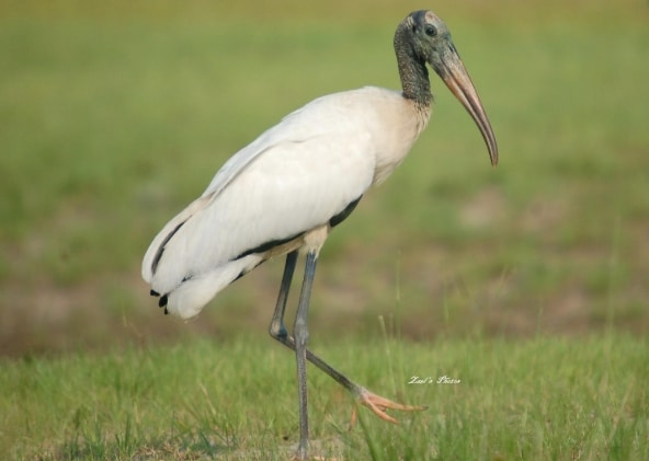 bangau Wood Stork (Mycteria americana)
