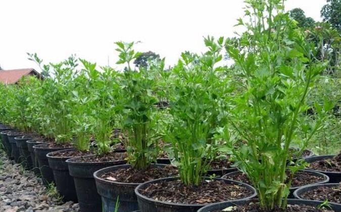 benih tanaman seledri