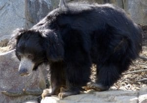 beruang sloth