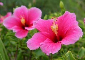 bunga sepatu pink