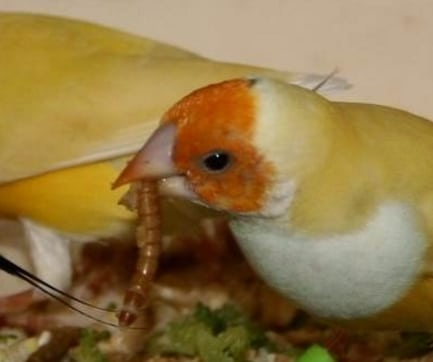 burung memakan ulat hongkong