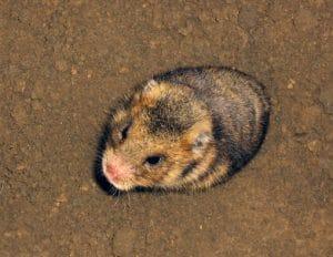 hamster rumania (Mesocricetus newtoni)