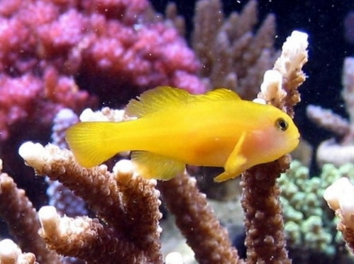 Clown Gobies fish