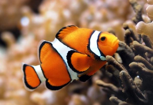Clownfish atau ikan badut