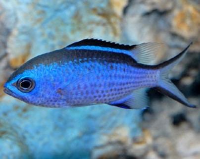 Reef Chromis biru