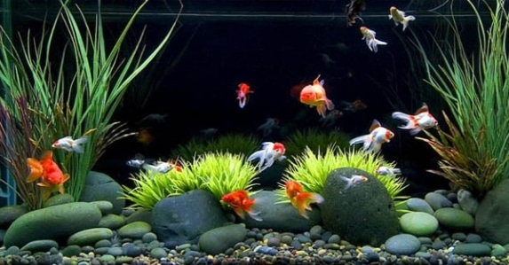 ikan hias air tawar di akuarium