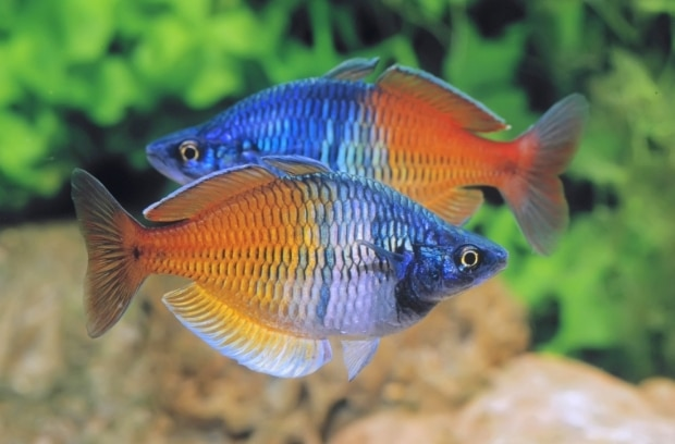 ikan rainbow fish