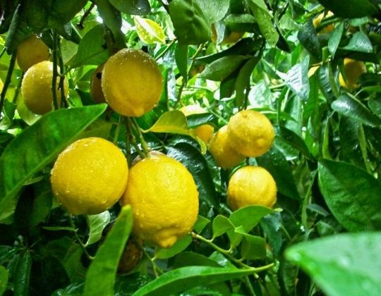 lemon di pohon