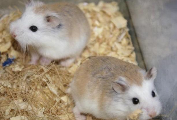 memelihara hamster