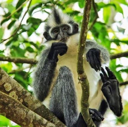 monyet kedih (Presbytis Thomasi)