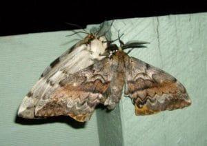 ngengat Chelepteryx collesi Anthelidae