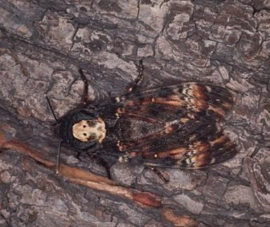 ngengat Death's-head Hawkmoth Acherontia sp.