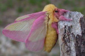 ngengat Dryocampa rubicunda Rosy Maple Moth