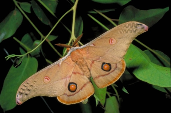 ngengat Emperor Gum Moth Opodiphthera eucalypti