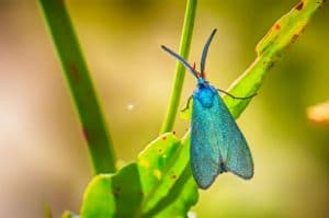 ngengat Forester Moth