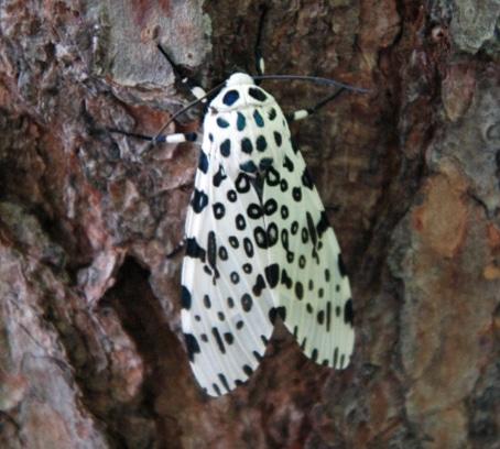 ngengat Giant Leopard Moth Arctiidae