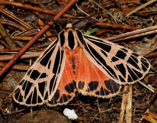 ngengat Grammia parthenice Tiger Moth