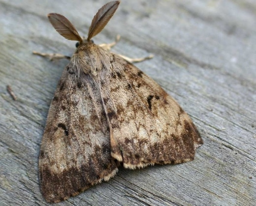 ngengat Gypsy moth Lymantria dispar