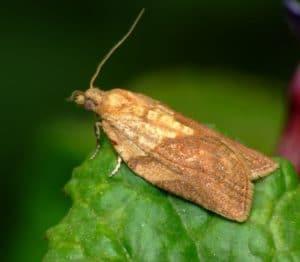 ngengat Light brown apple moth Epiphyas postvittana