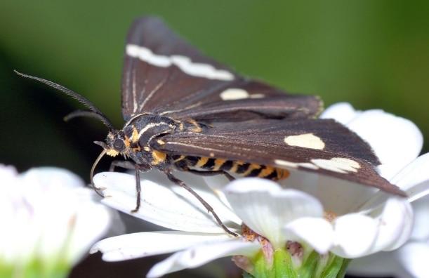 ngengat Nyctemera amica Arctiidae