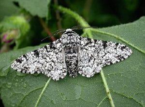 ngengat Peppered moth Biston betularia