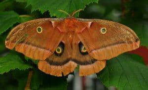 ngengat Polyphemus Moth Antheraea polyphemus