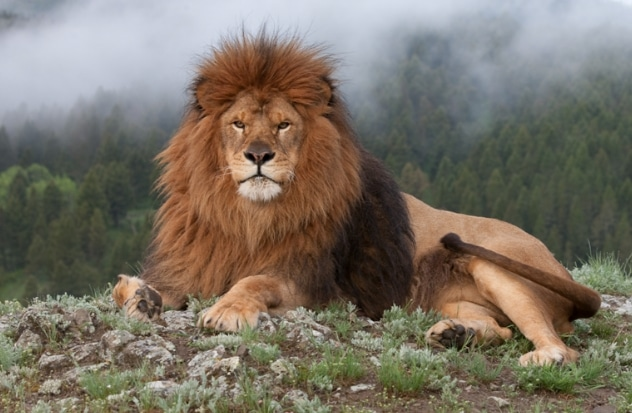 panthera leo leo (Barbary lion)