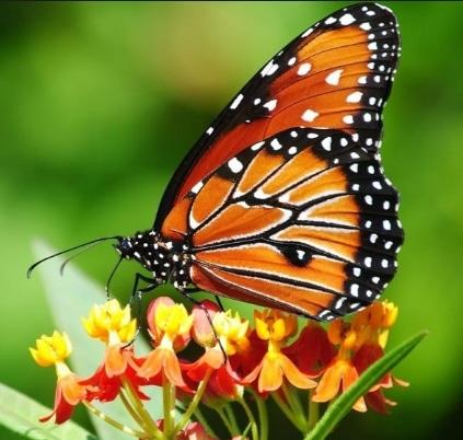 perbedaan dan persamaan antara kupu-kupu dan ngengat