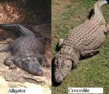 perbedaan panjang buaya dan alligator