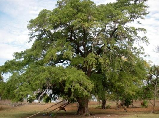pohon asam