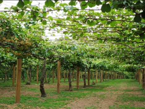 pohon buah kiwi