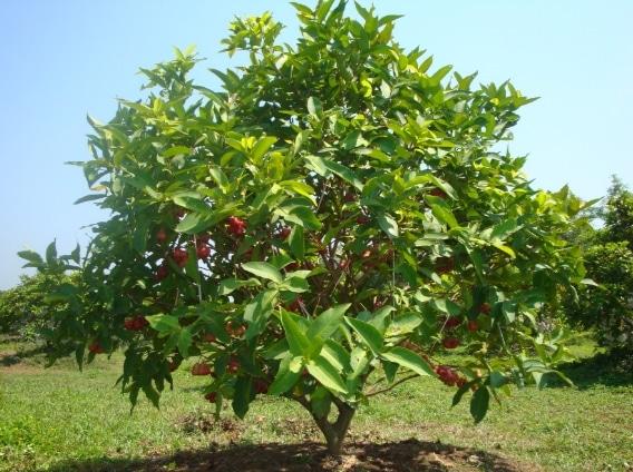 pohon jambu air