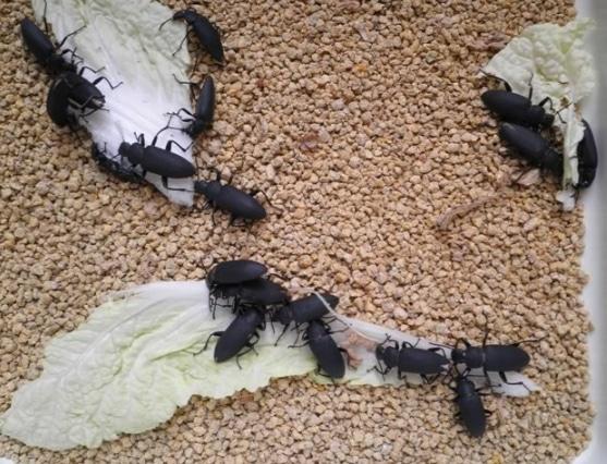 serangga ulat hongkong