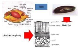struktur anatomi tubuh pelecypoda