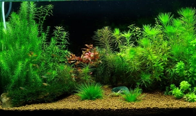 tanaman akuarium