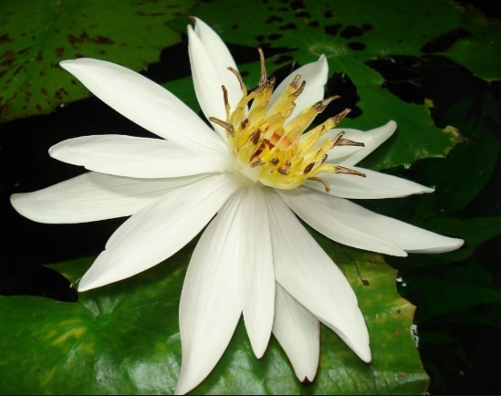 teratai kecil(nymphaea lotus)