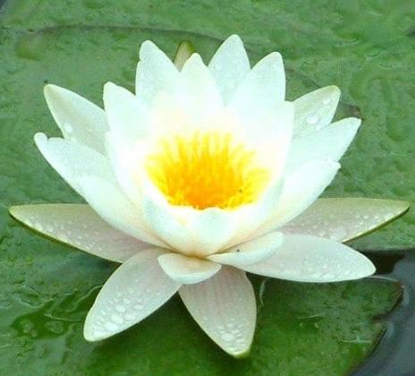 teratai putih(nymphaea alba)