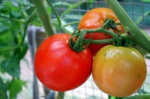 tomat betterboys