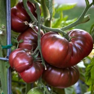 tomat black krim