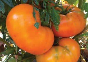 tomat brandywine