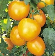 tomat golden jubilee