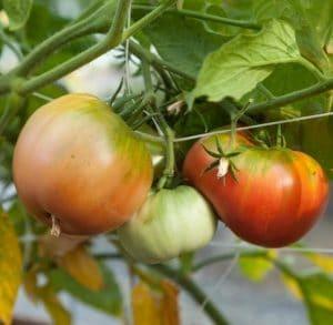 tomat hillbilly