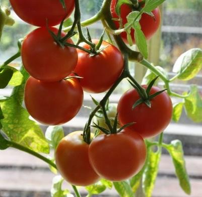 tomat monkeymaker