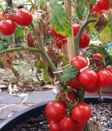tomat santorini