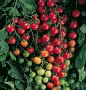 tomat super sweet 100