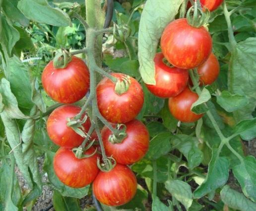 tomat tigerella