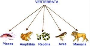 vertebrata