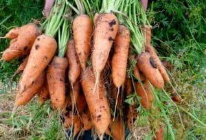 wortel chantenay