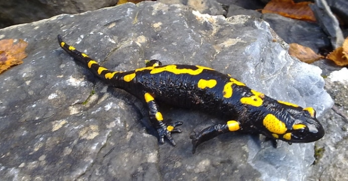 amfibi-Ordo Caudata-salamander