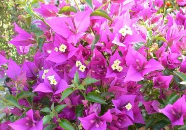 Bunga Kertas Pengertian Klasifikasi Dan Jenis Jenis Bunga